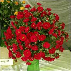Rosa 'Alain' - Róża