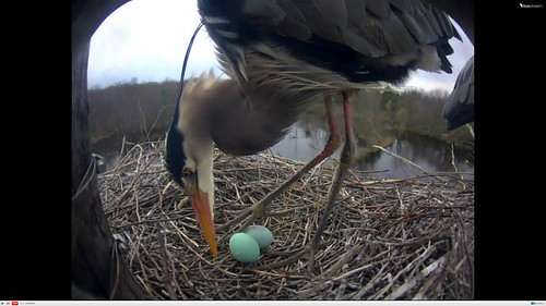 Great Blue Heron Second egg!