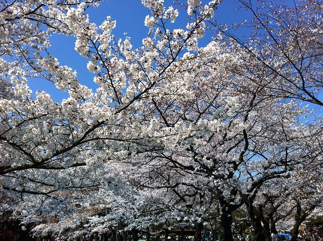 Cherry blossoms in full swing