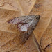 Small photo of March Moth. Alsophila aescularia