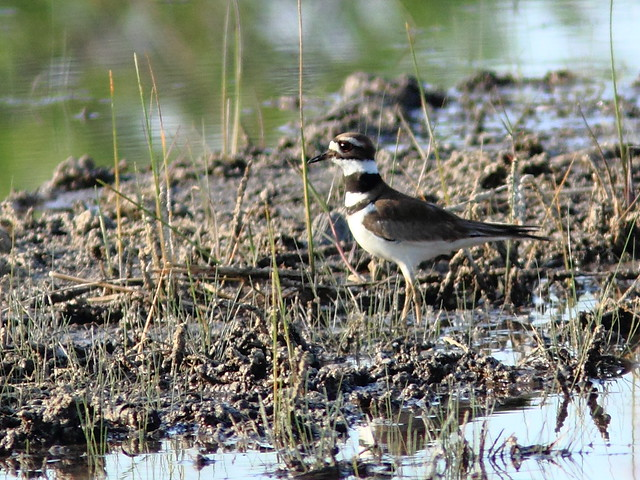 Killdeer 20120410