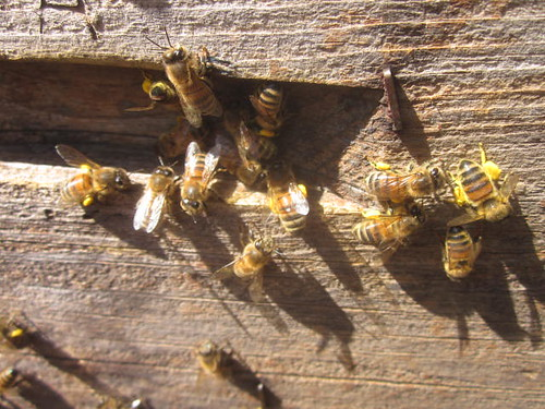 bees collecting yellow pollen from spring