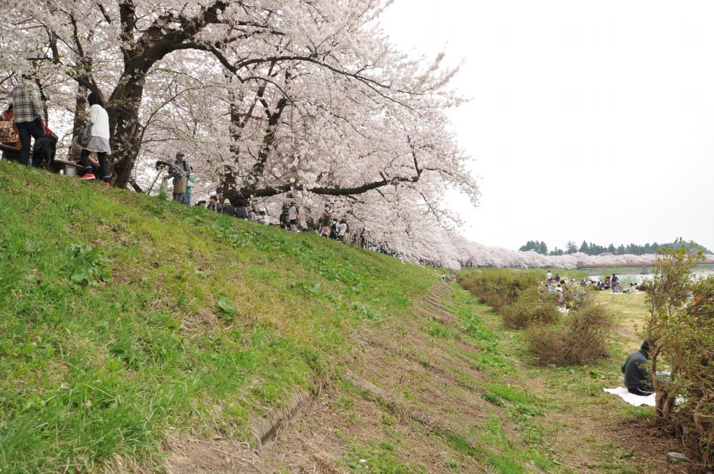 Kakunodate Bukeyashi (角館武家屋敷)2012年桜