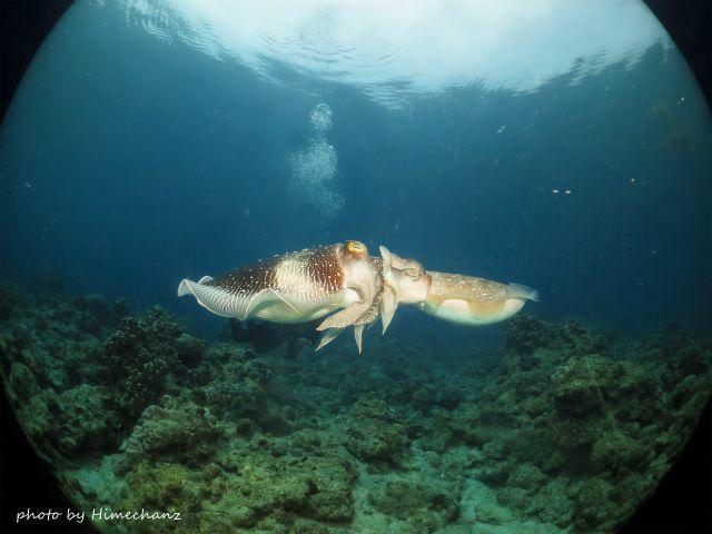 コブシメの交接シーン