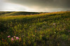 Glenbow Summer Sunset With Prairie Flowers by Heather Simonds