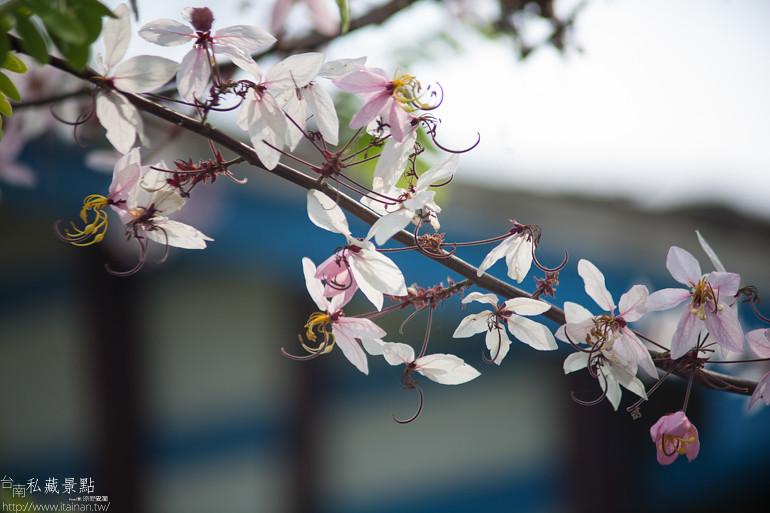 台南私藏景點--台1線花旗木 (11)