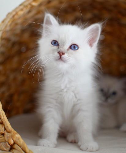 Sweet_#minimazariner_#mandel_#birma_#birman_#breeder_#catsofinstagram_#kitten_#p