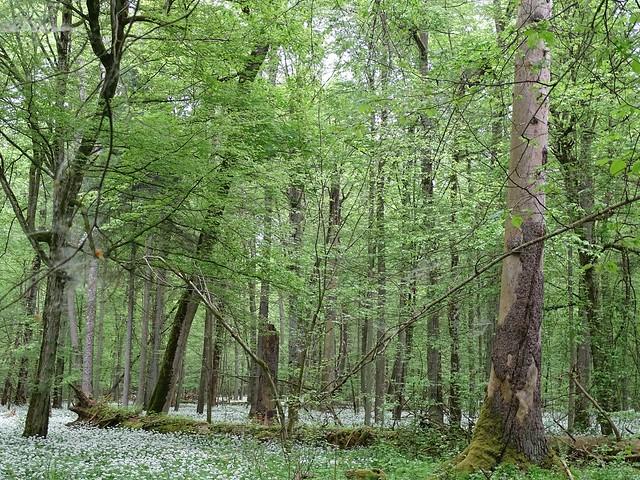 ancient oak forest in Białowieża