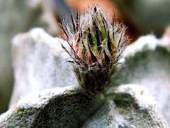 Astrophytum myriostigma Lem. flower bud