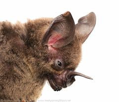 Lesser-spear nosed bat