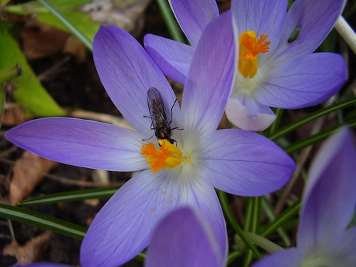 Feb 2012 262  March fly on Crocus tommasinianus