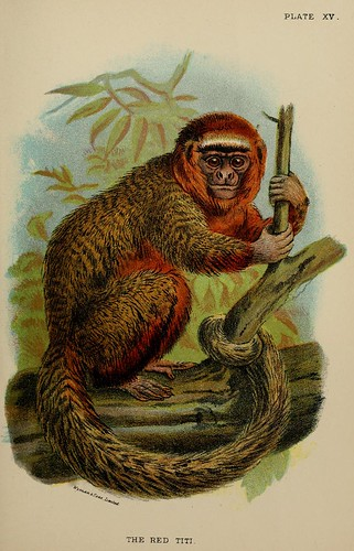 016-Titi rojo-A hand-book  to the primates-Volume 1-1896- Henry Ogg Forbes