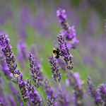 Bee Amongst Lavender