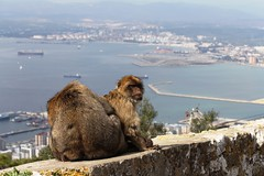019. Barbary Apes. Top of Rock.  March 2012