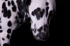dog breed, animal, dog, pet, dalmatian, monochrome, carnivoran,