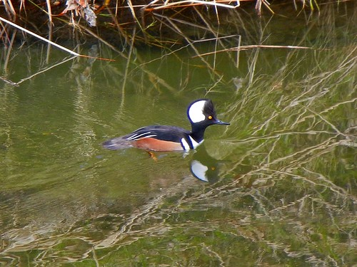 1hooded merganser brian murphy wc