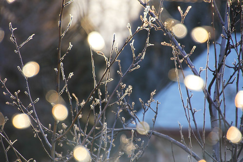 apple tree w bokeh