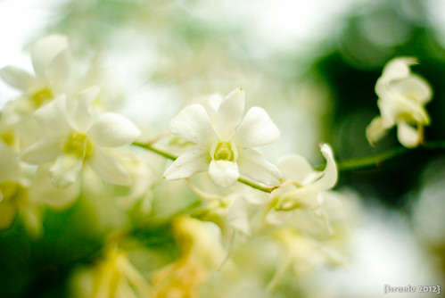 Dendrobium by {israelv}