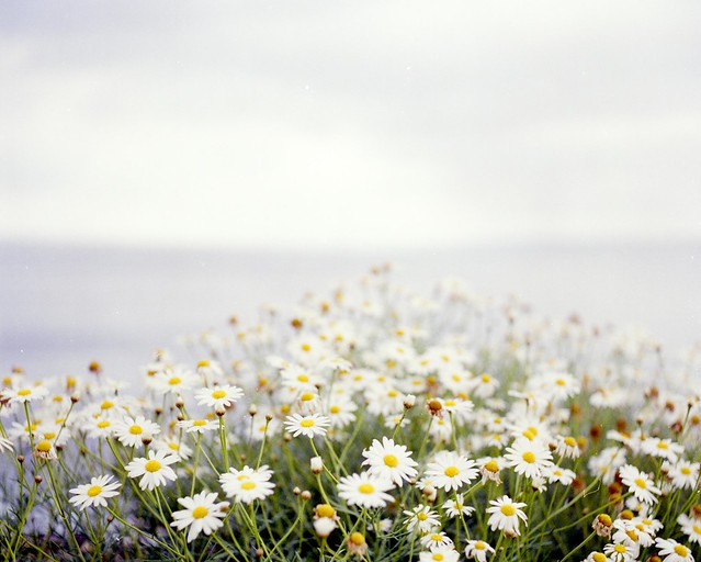 Daisies on a Cliff