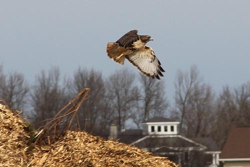 Hawk taking off