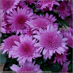 Chrysanthemum 'Colsterworth' - Chryzantema 'Colsterworth'