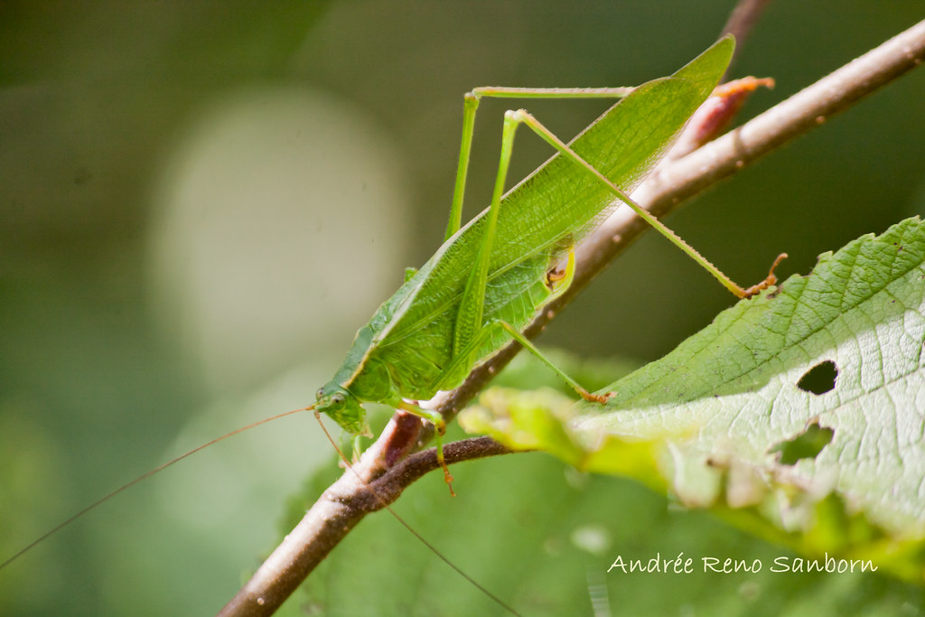 Northern Bush Katydid (Scudderia septentrionalis)-1-Edit-2.jpg