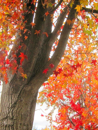 Fall Leaves and Tree Trunk