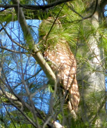 Sleeping or roosting Barred Owl