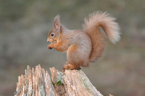 Red squirrels in the Cairngorns 1