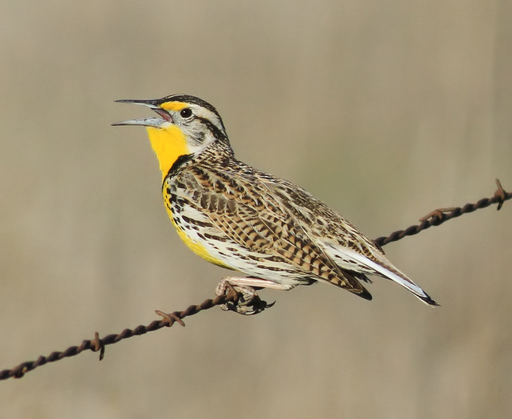 western meadowlark - Coyote Valley Open Space Preserve