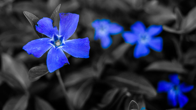 Dark Blue And White Flowers: Black And White With Blue Flowers