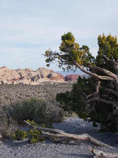 Weathered juniper & calico hills