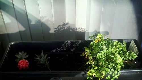 Inside parsley planter