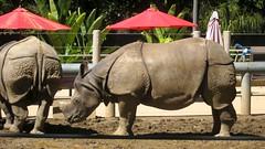 IMG_3664: Rhinoceros