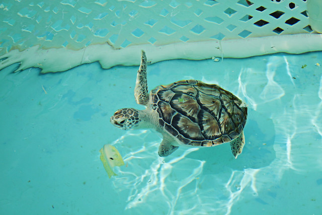 Loggerhead marine life center 11