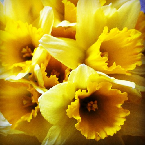 Cheating slightly: bought these at the weekend, because I do love blooming daffs