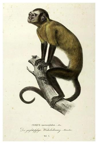 001-Simiarum et Vespertilionum Brasiliensium especies novae 1823- Baptist von Spix