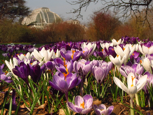 Dutch Crocuses