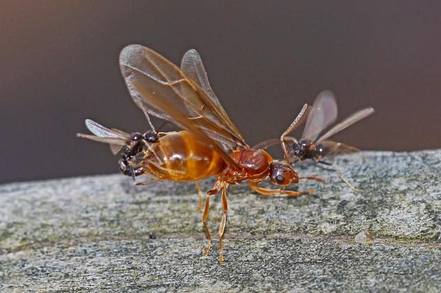 False Honey Ant - Prenolepis imparis, Leesylvania State Park, Virginia