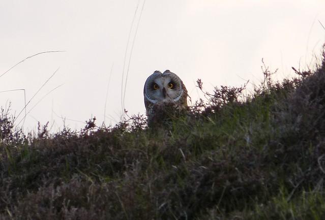 26969 - Short Eared Owl, Mull