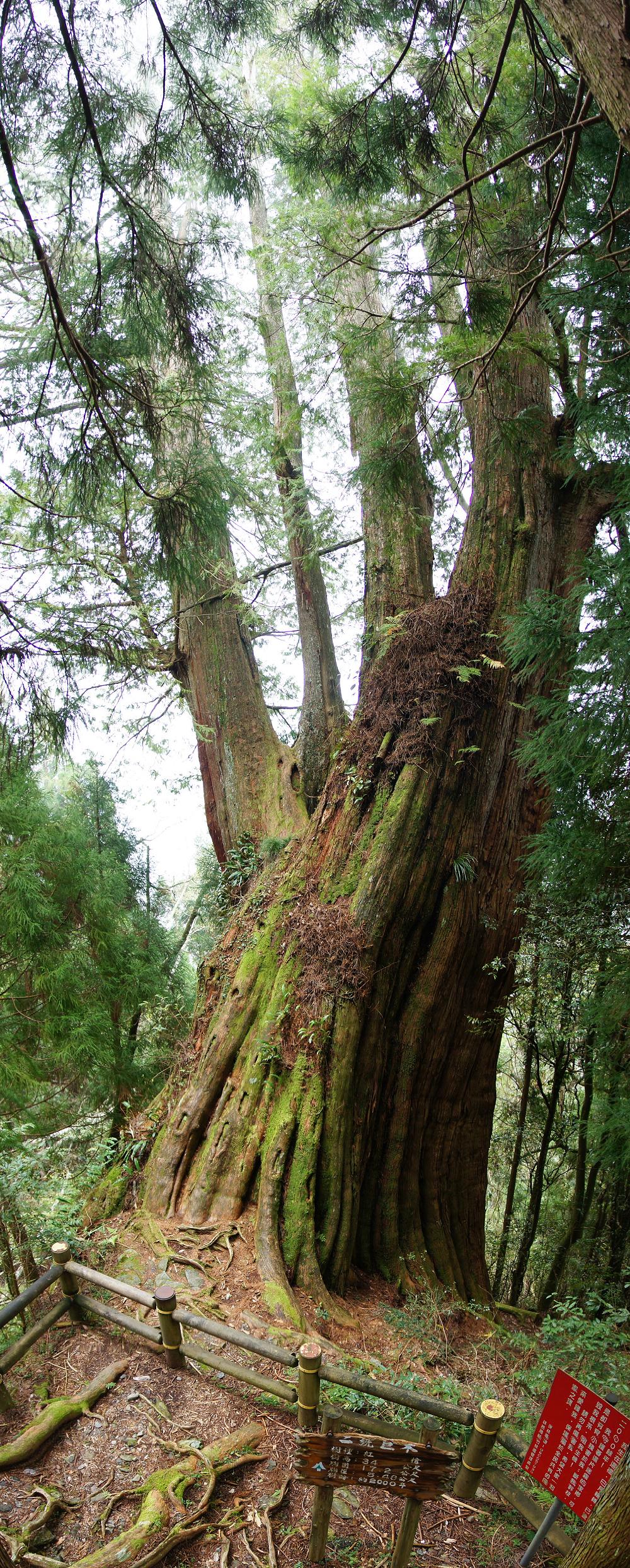 觀霧巨木步道-054