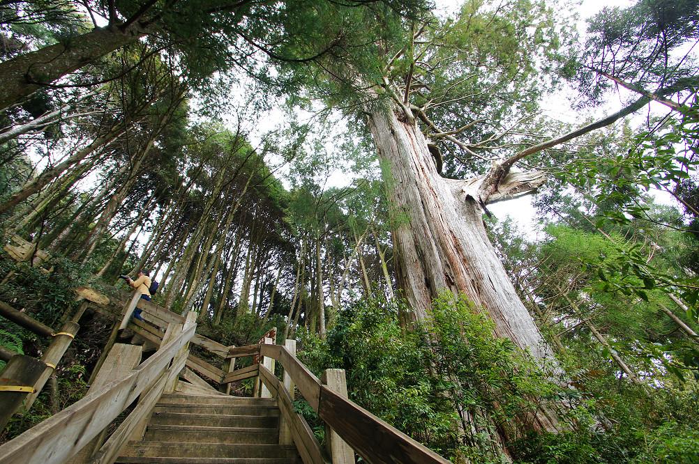 觀霧巨木步道-057