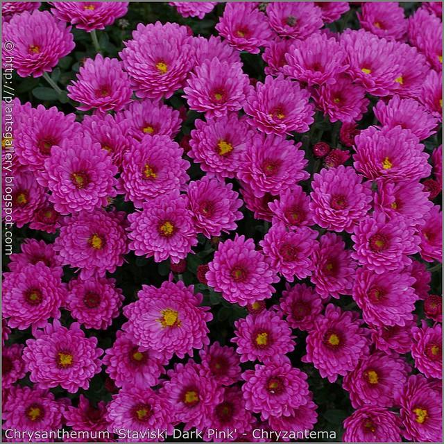 Chrysanthemum 'Staviski Dark Pink' - Chryzantema 'Staviski Dark Pink'
