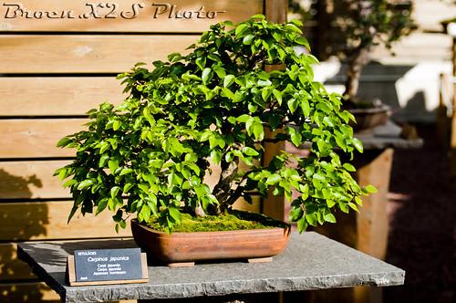 Bonsai-Carpinus Japonica-Jardi Botanic de BCN 22