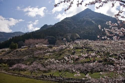 japan plum ume aichi fullbloom shinshiro kaore