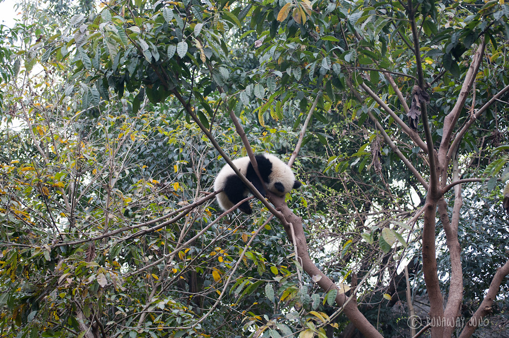 Panda_sleeping_on_the_tree_Chengdu_Sichuan_China