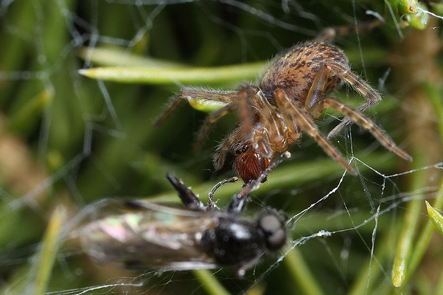 Spider in web with prey - photo#12