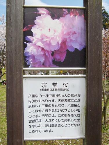 宗堂桜 #5