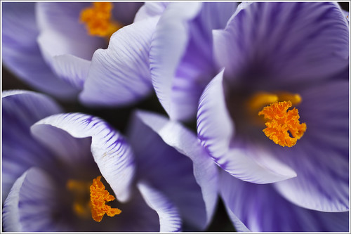 20120415. Crocuses. 6513. by Tiina Gill