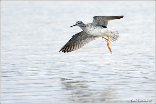 Lesser Yellowlegs (20120421-0363)